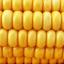 #Mimimilho: A tortuosa questão do milho na cerveja